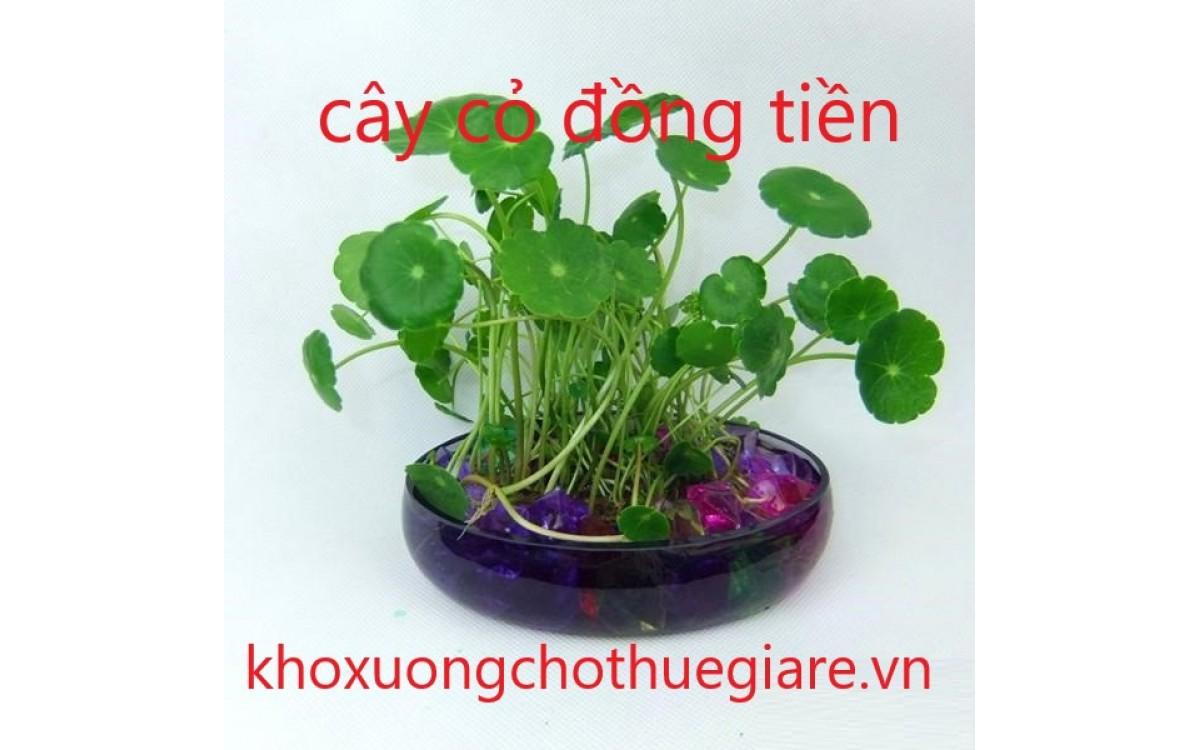 Cỏ đồng tiền, cách trồng và ý nghĩa của cây cỏ đồng tiền
